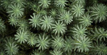Tumbuhan Gymnospermae: Pengertian, Ciri, Klasifikasi, Siklus & Contoh 2