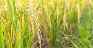 Tumbuhan Monokotil: Pengertian, Akar, Batang, Daun & Contoh 2