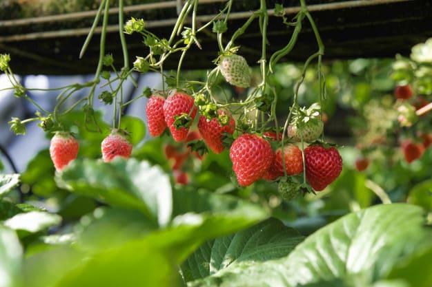 Tumbuhan Dikotil: Pengertian, Ciri, Akar, Batang, & Contohnya 1