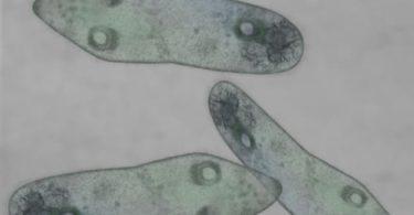 Protozoa: Pengertian, Ciri, Peranan, Klasifikasi, Contoh, Reproduksi 2