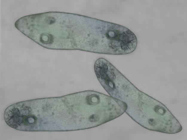 Protozoa: Pengertian, Ciri, Peranan, Klasifikasi, Contoh, Reproduksi 1