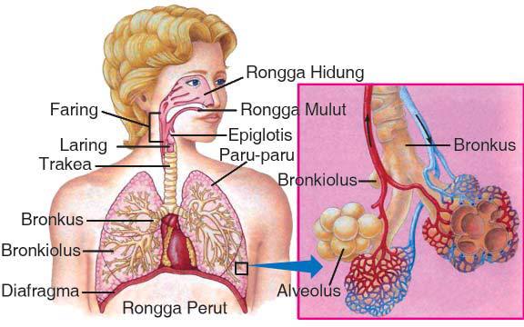 organ sistem pernapasan manusia