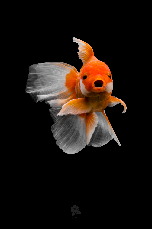 Ikan Mas Koki Lion Head