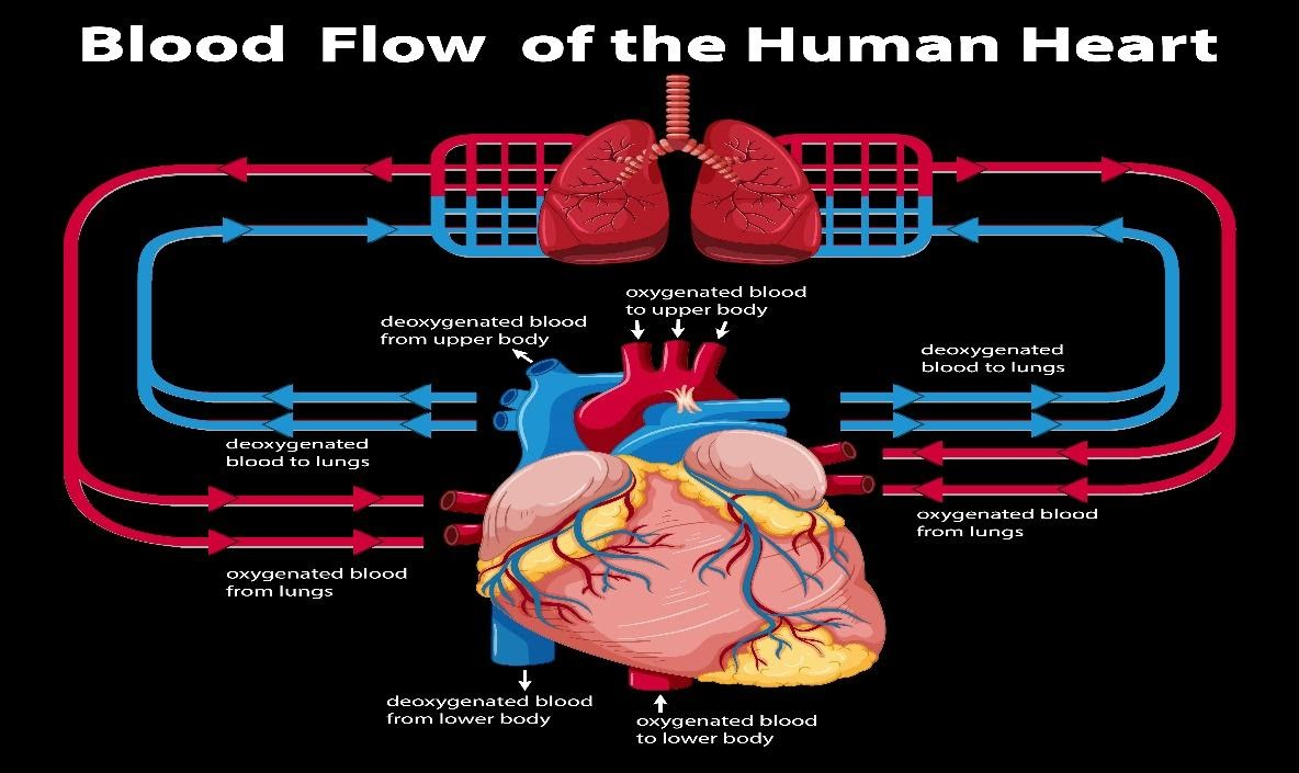 sirkulasi peredaran darah besar