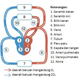 sistem peredaran darah besar