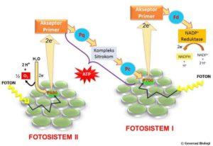 Pengertian Anabolisme: Proses, Ciri, Hormon dan Penyakitnya 4