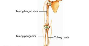 Fungsi Tulang Hasta, Tulang Pengumpil dan Lengan Atas 2