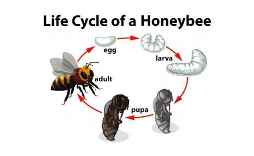 metamorfosis lebah madu