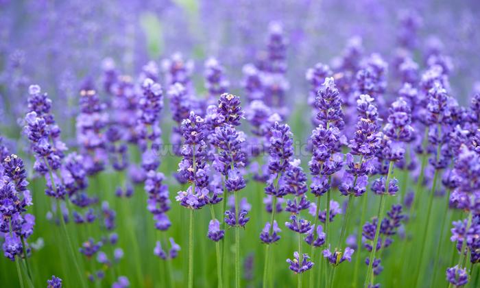 Lavender (sumber: kebun.co.id)