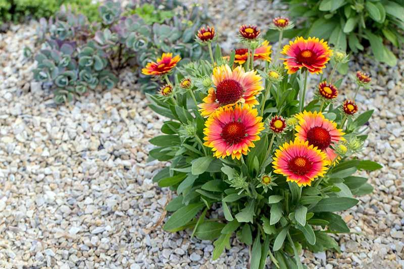 Blanket Flower (sumber: creativefarmer)