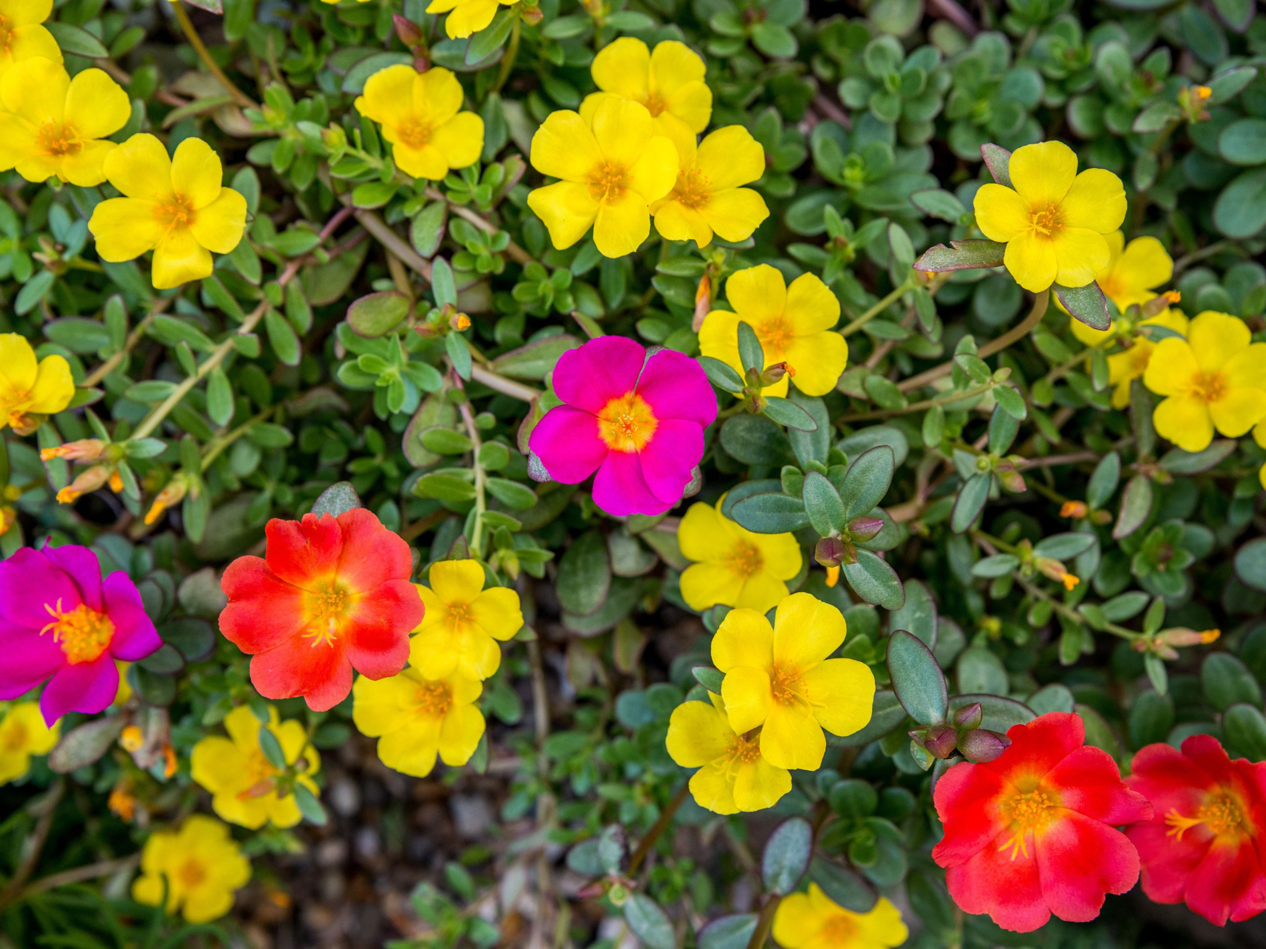 Moss Rose (sumber: thespruce)