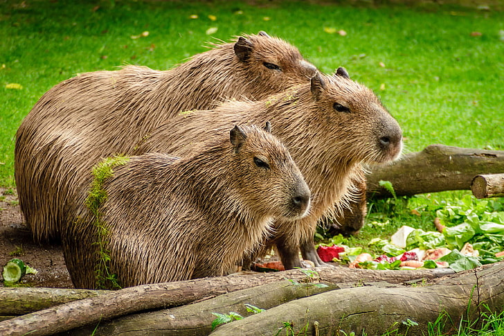 Kapibara (sumber: wallpaperbetter)